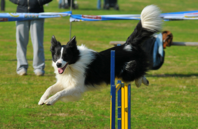 Image result for dog agility show