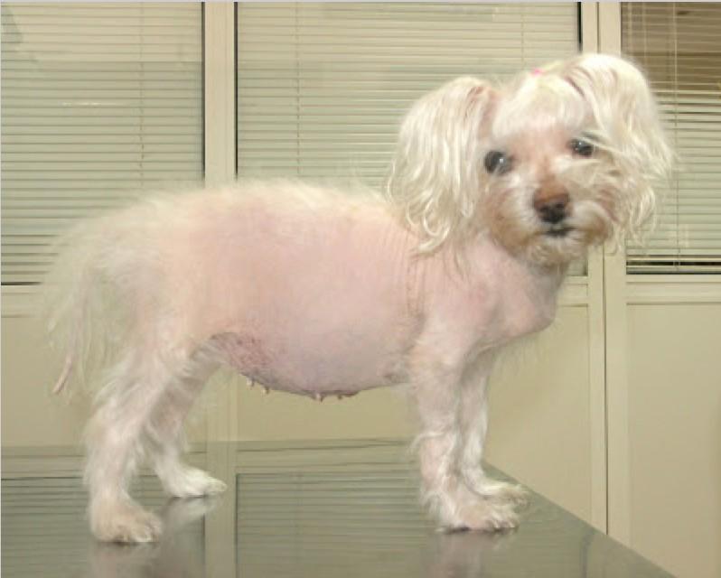 Addisonian Crisis In Cushing S Dog