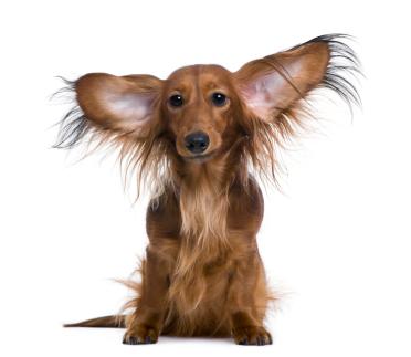 ear disease in dogs part three spot speaks