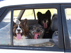 Photo Credit: Genewolf, Flicker CC, Dogs in Car